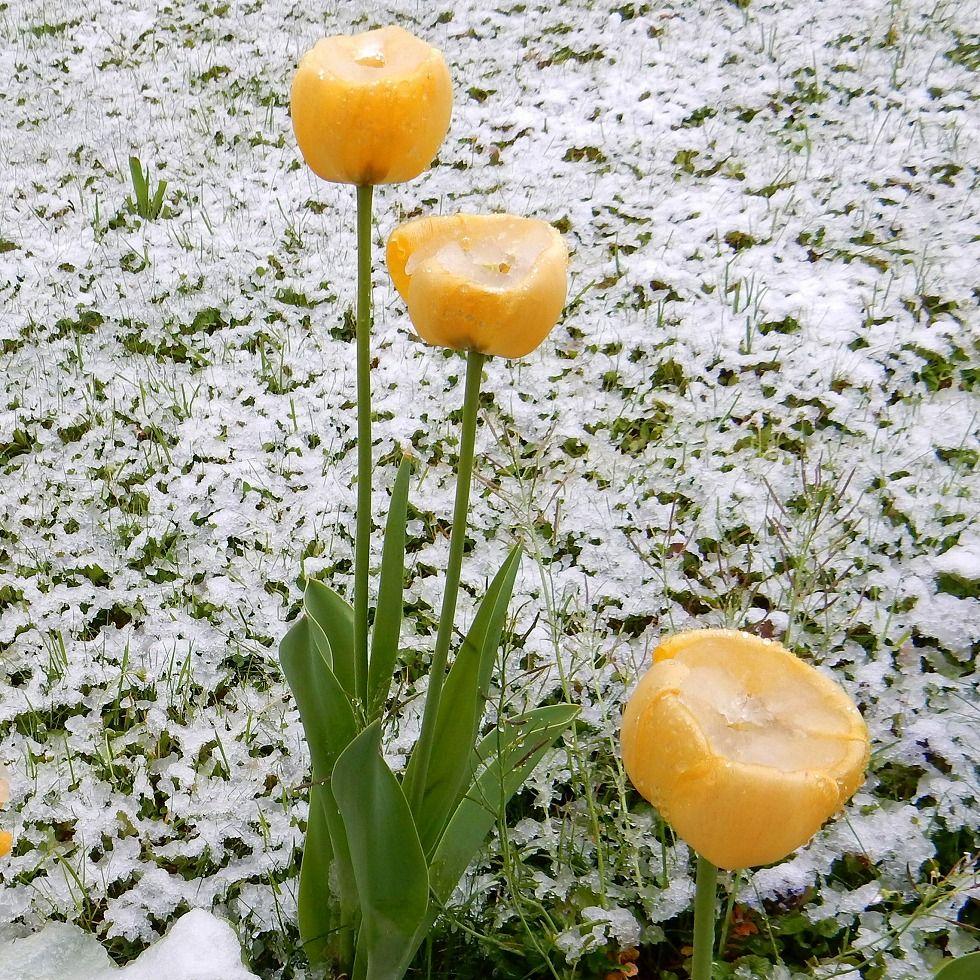 Tulip_0426