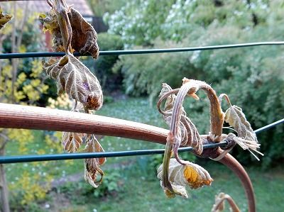 grape_tree