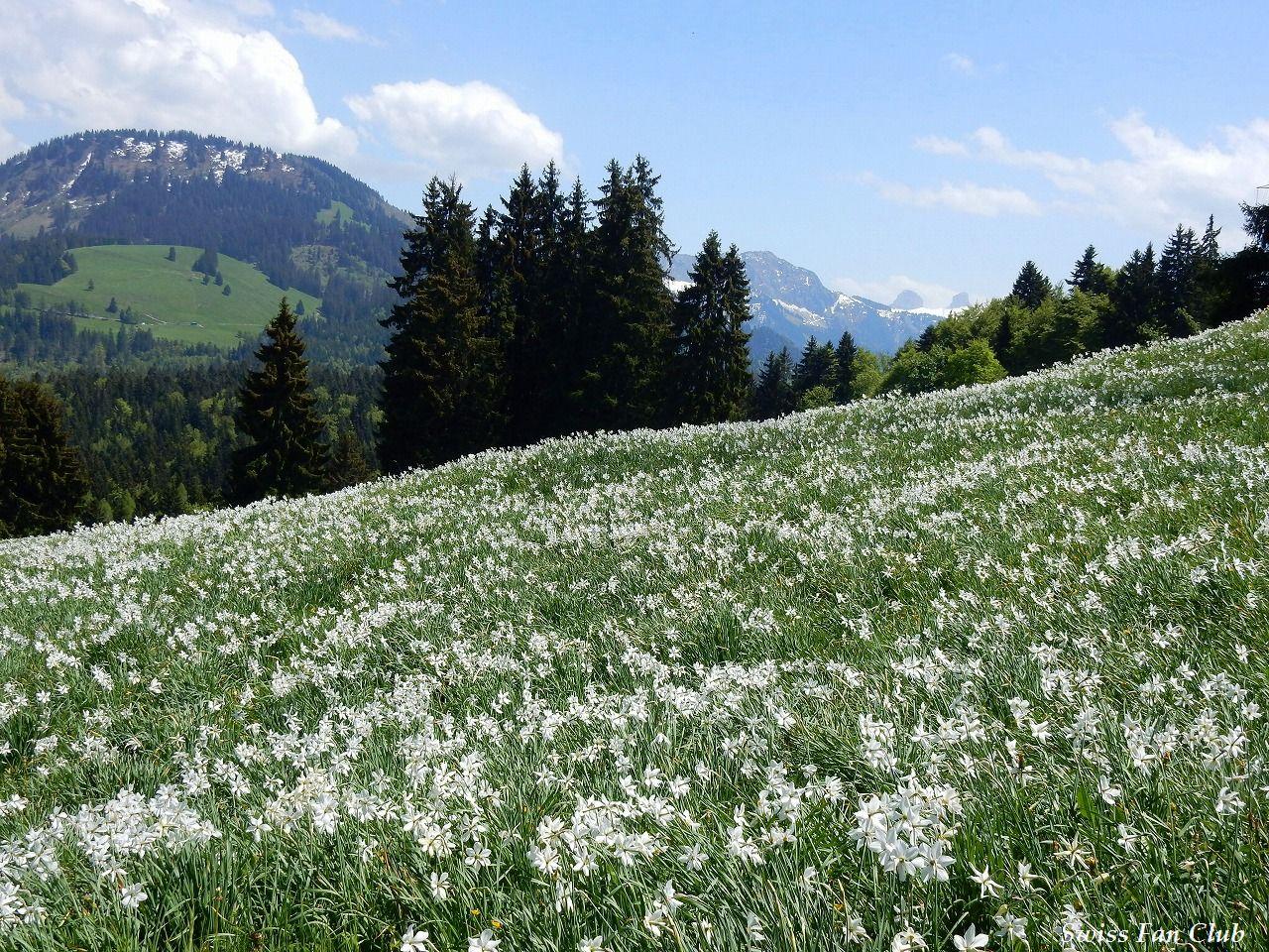 """スイス - 26の旅の扉      """"5月の雪""""ナルシスの花ツアー! <スイス/レ・プレイヤード> スイスの風景 2016-5-27    コメント"""