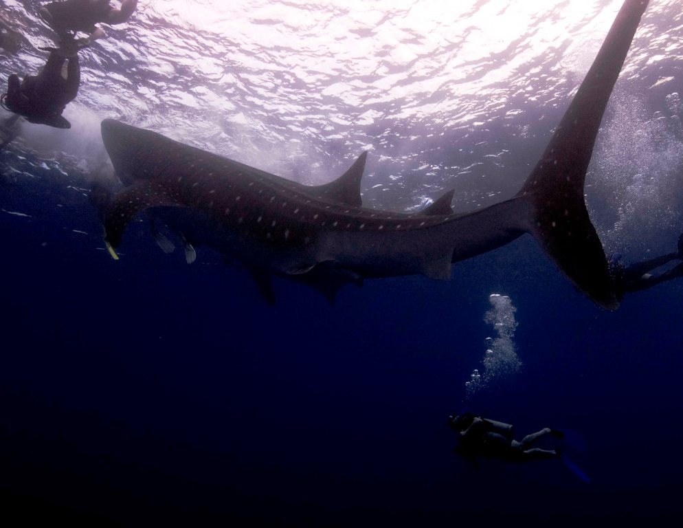 Whale Shark 5