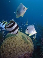 belize aggressor foureye butterflyfish