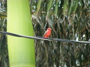 100B1581 Vermillion Flycatcher