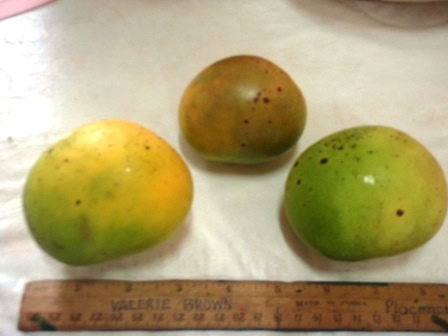 common mango1