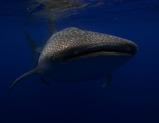 whale shark 3r