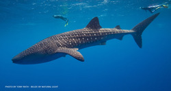 WHALE SHARK - TONY RATH
