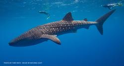 WHALE SHARK - TONY RATH