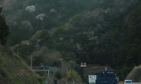 yamasakura