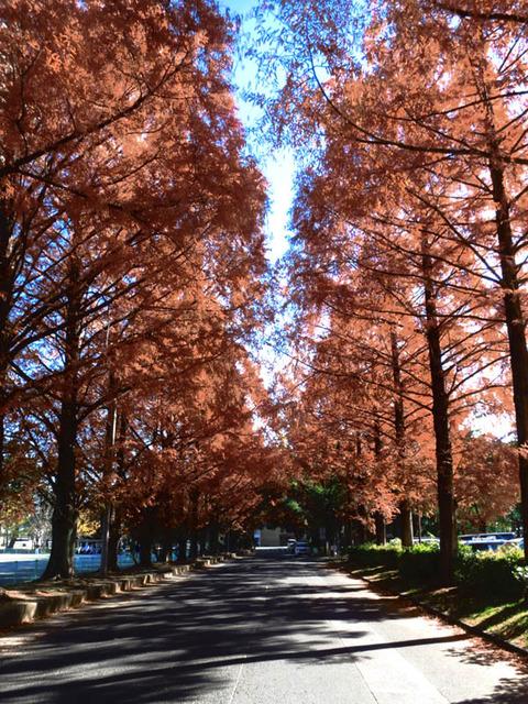 takashiryokuchi_sequoia
