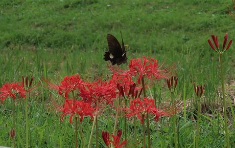 torihara_butterfly