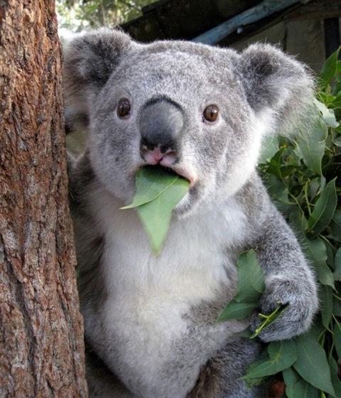 suprised_koala_eating_leaf