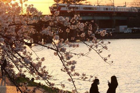 ④2021年桜と五万石藤【準特2】「夕日に輝く桜」伊藤弘
