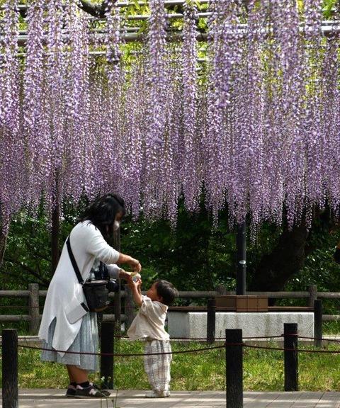 ③2021年桜と五万石藤【準特1】「ジュース頂戴」斉藤博之