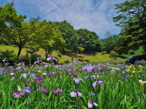 ③2021年花菖蒲【準特1】「青空の下の満開の花しょうぶ」神谷正巳