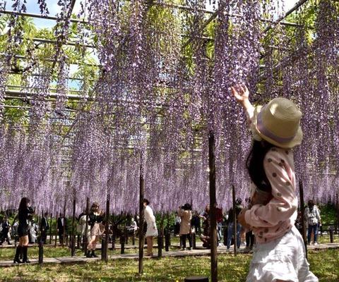 ②2021年桜と五万石藤【特選】「五万石藤のにぎわい」松尾信行