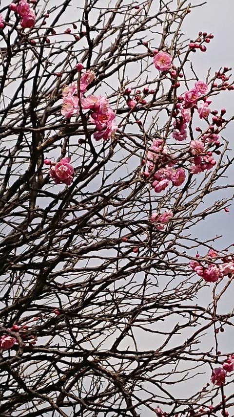 0214 梅の花