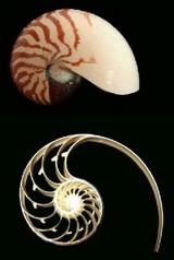 オウム貝の黄金比