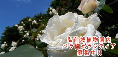 植物園バラボランティア