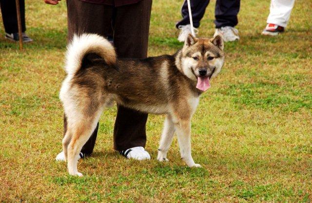 紀州犬の画像 p1_28