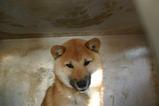 柴犬 オス 赤毛 生後6カ月過ぎの写真