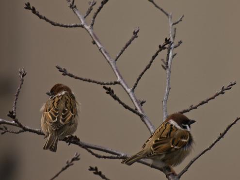 春の日の夕暮れのお洒落れ雀色