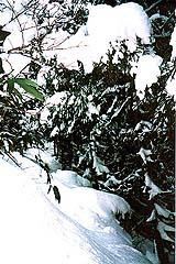 裏山の熊笹に雪重く