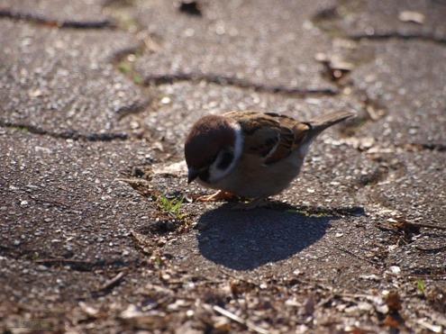 子雀も餌を探つつ日向ぼこて