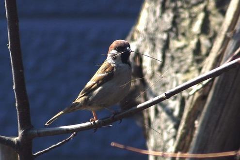 春浅き雀の巣作り思案顔