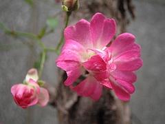 植物図鑑 写真:れんげローズ