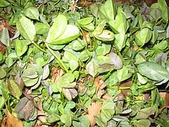 植物図鑑 写真:クローバー (2) 就眠活動