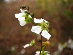 植物図鑑 写真:ユキヤナギ