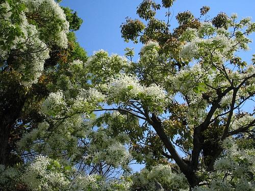 ナンジャモンジャの木(ヒトツバタゴ)