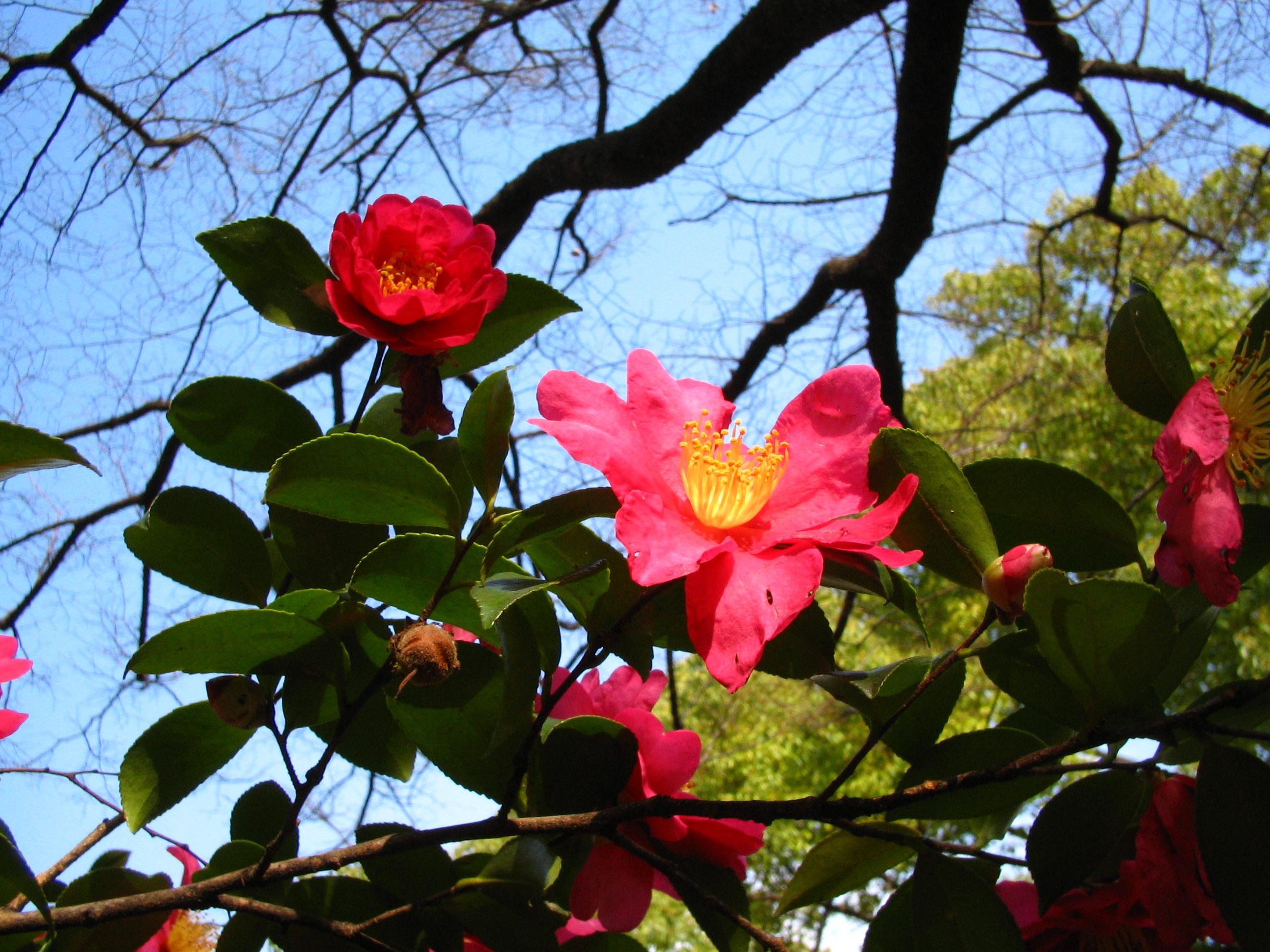 植物図鑑 写真:山茶花ー赤  2009年12月26日大阪城公園にて ツバキ目 ツバキ科 ツバキ属