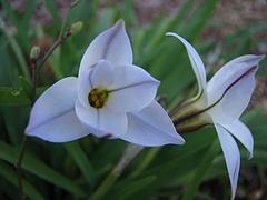 植物図鑑 写真:ハナニラ