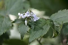 クサボタン (草牡丹)