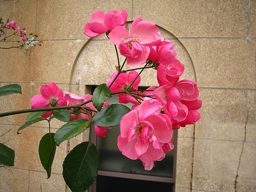 植物図鑑 写真:冬薔薇