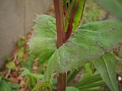 植物図鑑 写真:ノゲシ属