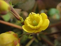 植物図鑑 写真:ヒイラギナンテン