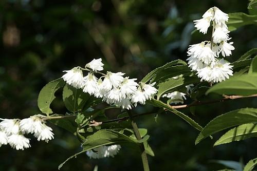 サラサウツギ(更紗空木)