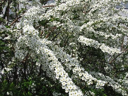 植物図鑑 写真:雪柳 05