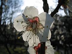 植物図鑑 写真:一重野梅