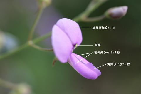 マメ科の蝶形花の構造
