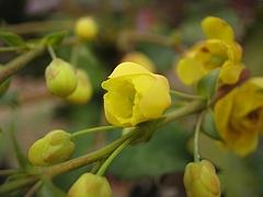 植物図鑑 写真:ヒイラギナンテン(柊南天)