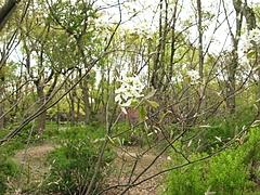 アメリカザイフリボク(亜米利加采振木)