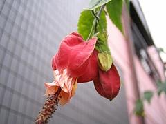 植物図鑑 写真:チロリアンランプ