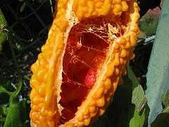 ツルレイシ(蔓茘枝)