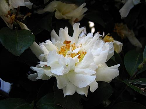 植物図鑑 写真:山茶花ー白