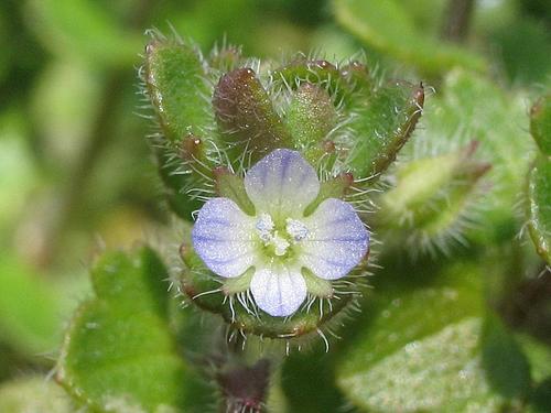 植物図鑑 写真:フラサバソウ