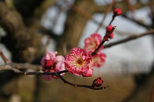 植物図鑑 写真:寒紅