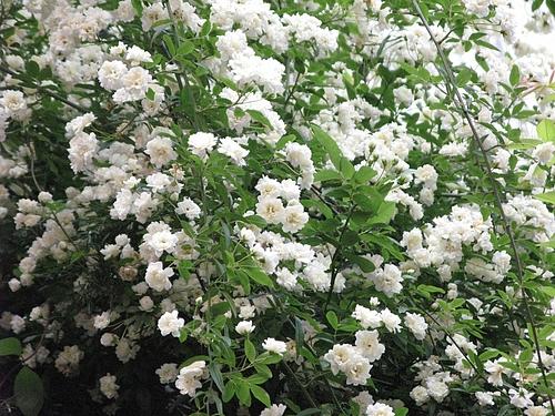 モッコウバラ(木香茨、木香薔薇)