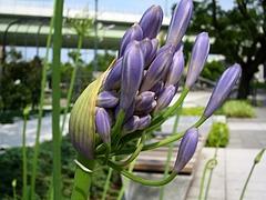 ムラサキクンシラン(紫君子蘭) / アガパンサス